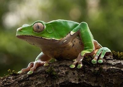 Kambo-Frog-400px