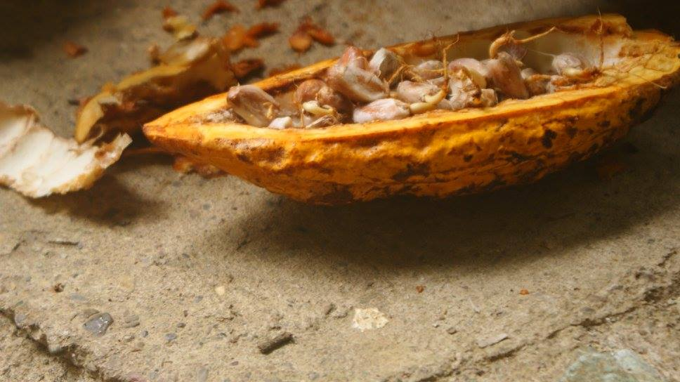 Theobroma cacao Alquimia