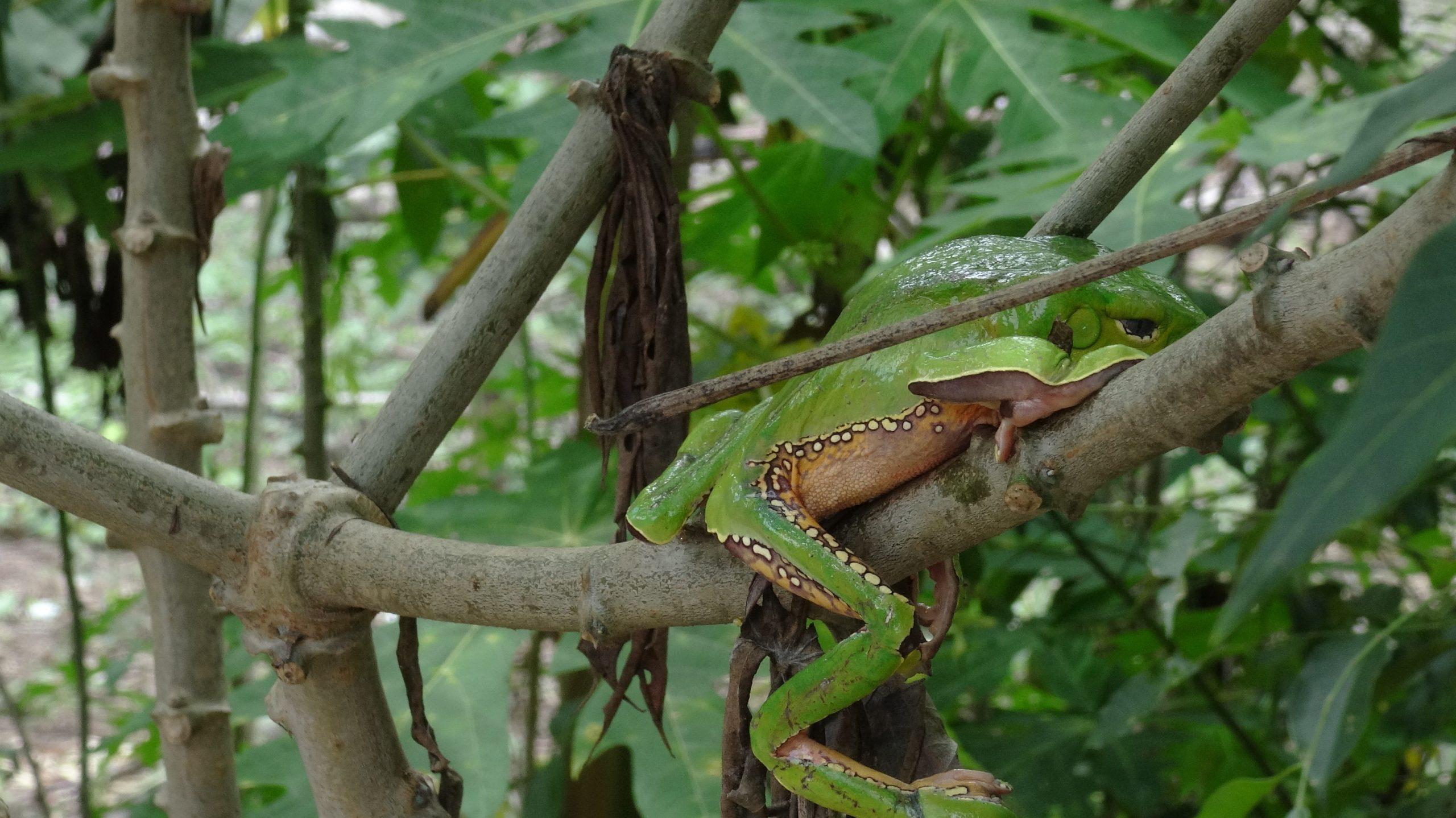 kambo frog during retreat at Alquimia